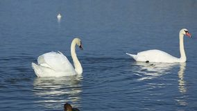 Swans and ducks stock footage