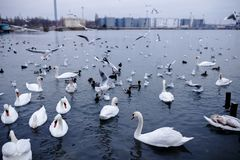 Swans and ducks floating on the black sea, Odessa. royalty free stock image