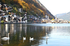 Swans and ducks floating on Hallstatt lake Stock Images
