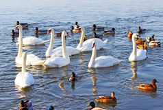 Swans and ducks Stock Images