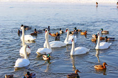 Swans and ducks Royalty Free Stock Photos