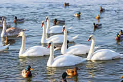 Swans and ducks Royalty Free Stock Images