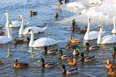Swans and ducks Stock Photos