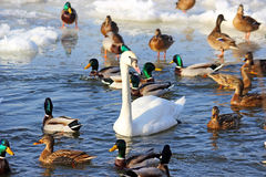 Swans and ducks Royalty Free Stock Photo