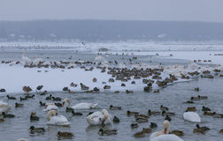 Swans and ducks in frozen river Danube Royalty Free Stock Photos