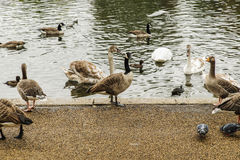 Swans, ducks and geese in Hyde Park Stock Image