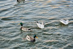 Swans, ducks and gulls on the river stock image