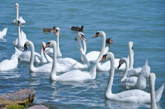 Swans and ducks  on lake Royalty Free Stock Photos