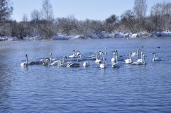 Swans and ducks. Swans and ducks on the lake Stock Images