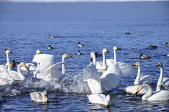 Swans and ducks. Stock Photos
