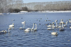 Swans and ducks. Swans and ducks on the lake Royalty Free Stock Photography