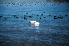 Swans and ducks on Lake Starnberger See. Bavaria Royalty Free Stock Images