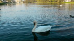 Swan is not afraid of camera and is very close in the water at dusk. Swans and ducks on the lake stock video