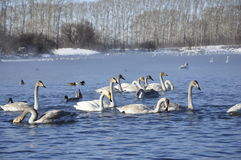 Swans and ducks on the lake. Wild Swans and ducks float on the water in the winter Royalty Free Stock Image