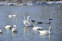 Swans and ducks on the lake. Wild Swans and ducks float on the water in the winter Stock Photo