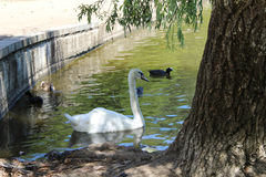 Swans and Ducks on Lane. Swan and Ducks on Lake Tree Trunk Royalty Free Stock Images