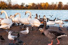 Swans and ducks in London Hyde Park. The parks provide beautiful green spaces right in the heart of the capital where you can escape the hustle and bustle of Royalty Free Stock Image