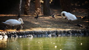 Swans and ducks in nature stock video footage