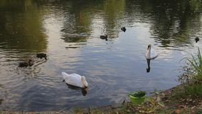 Swans and ducks. Swans and ducks on the pond stock footage