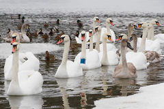 Swans  and ducks on the river Stock Photo