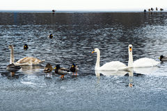 Swans and ducks Stock Photos