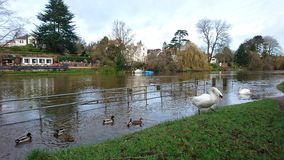2 swans and ducks on the river Severn Shrewsbury. Reflection flood water bank ripples nature metal white railings green grass tranquil calm peace mallard Stock Photography