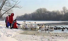 Swans and ducks on river in winter Royalty Free Stock Image