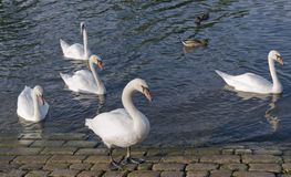 Swans and ducks riverside. Riverside scenery showing some swans and ducks Stock Images