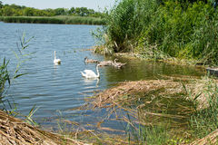Swans and ducks swiming in the lake. Swans and ducks were photographed on lake in nature park Zobnatica, near Backa Topola, Serbia. Photo was taken on a nice Royalty Free Stock Photography