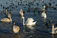 Swans and ducks. Swimming in the Black Sea Stock Image