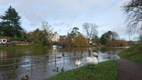Swans and ducks walking up flooded river bank path. Reflection close up meandering path pathway clouds flood water bank ripples nature metal white railings green Royalty Free Stock Photos