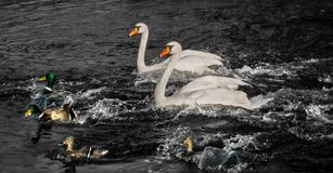 Swans and ducks in water stock images
