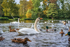 Swans and ducks in the water Stock Photo