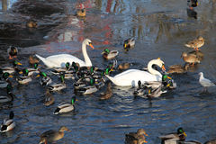 Swans and ducks. White swans and flock of mallard ducks on the river Royalty Free Stock Photo