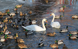 Swans and ducks. White swans and flock of mallard ducks on the river Stock Photography