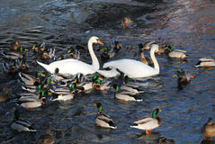 Swans and ducks. White swans and flock of mallard ducks on the river Stock Photos