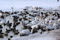 Swans and Ducks in the Winter Stock Image