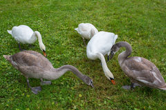 Swans eating grass on green meadow. Nature. Royalty Free Stock Photography