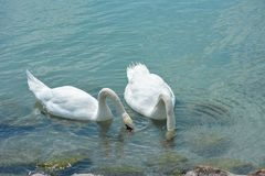 Swans are eating on Lake Balaton stock photography
