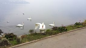 Swans. At the edge of Lugano lake in Switzerland Stock Photos