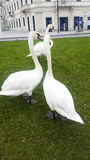 Swans. At the edge of Lugano lake in Switzerland Royalty Free Stock Image