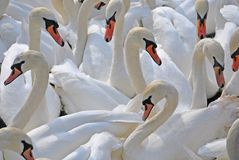 Swans, Edinburgh, Arthurs, Seat Royalty Free Stock Photo