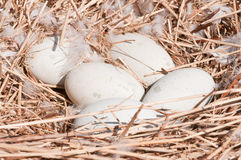 Swans eggs in the nest Stock Photo