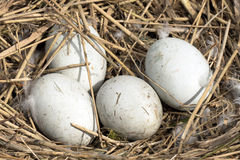 Swans eggs in a nest. Royalty Free Stock Photos