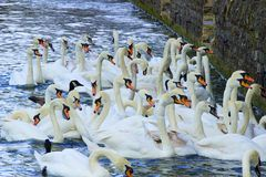 Swans , England. Many swans in Thames in Windsor, England royalty free stock images
