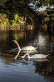 Swans at Evening. A pair of swans in the setting sunlight Stock Photos