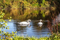 Swans at Evening. Two swans on the river at sunset Stock Photos