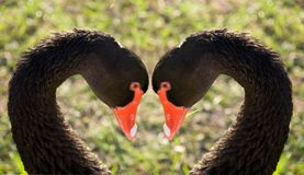 Swans faithfulness. Two black swans faithfulness as example of love Royalty Free Stock Photos