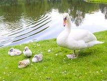 Swans family stock photos