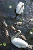 Swans family Royalty Free Stock Photo